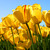 Avatar_tulips